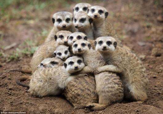 meerkat-hugging